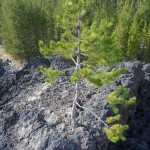 pine tree grows out of rocks
